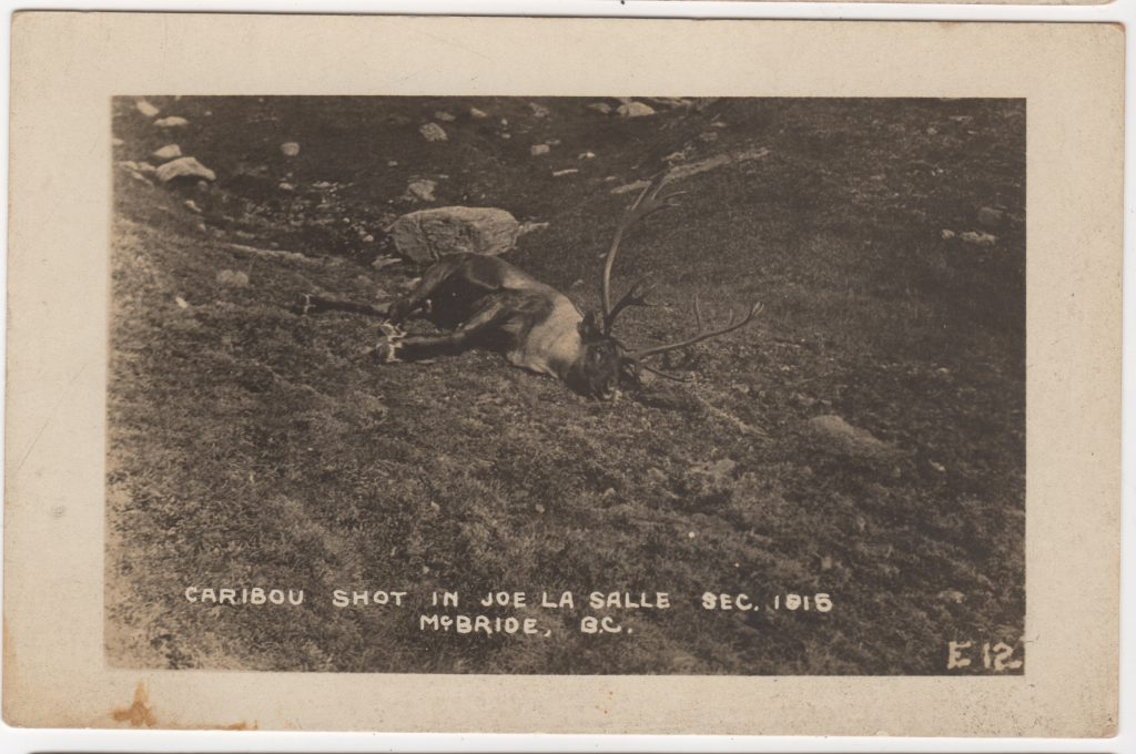 Caribou chassé, Section 1915 Joe La Salle, McBride; ca. années 1950 (SHFCB 2016.02.105)